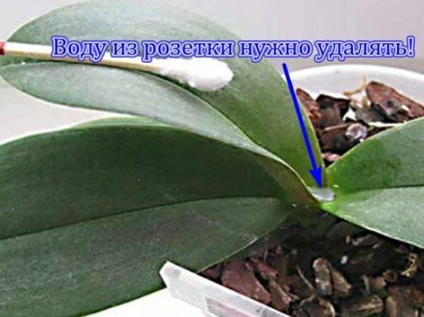 Размножение фаленопсиса цветоносом