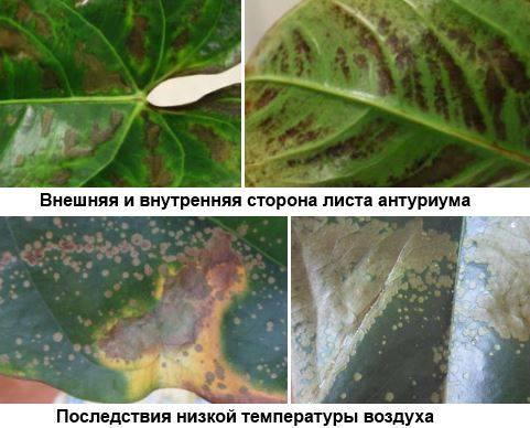 Почему у антуриума коричневые пятна на листьях