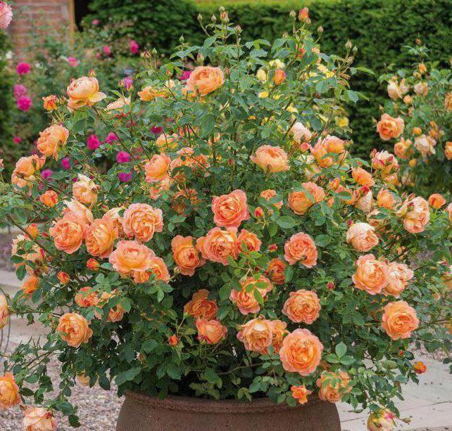 Желтая кустовая роза
