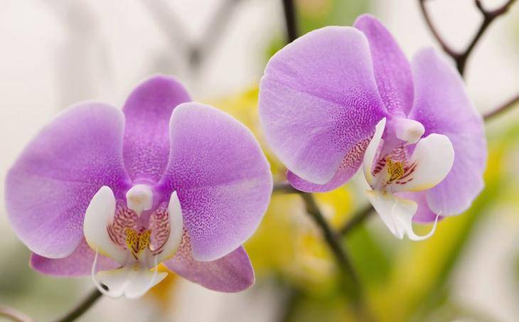 Орхидея сохнет что делать