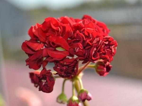 Пеларгония австралийский розебуд