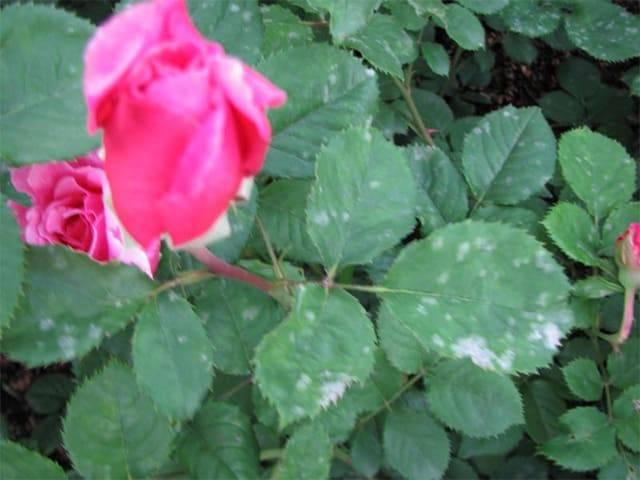 На листьях розы белый налет