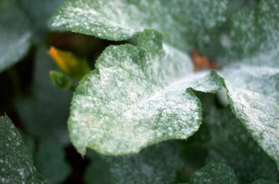 Белый налет на комнатных растениях