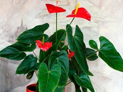 Антуриум цветок как ухаживать