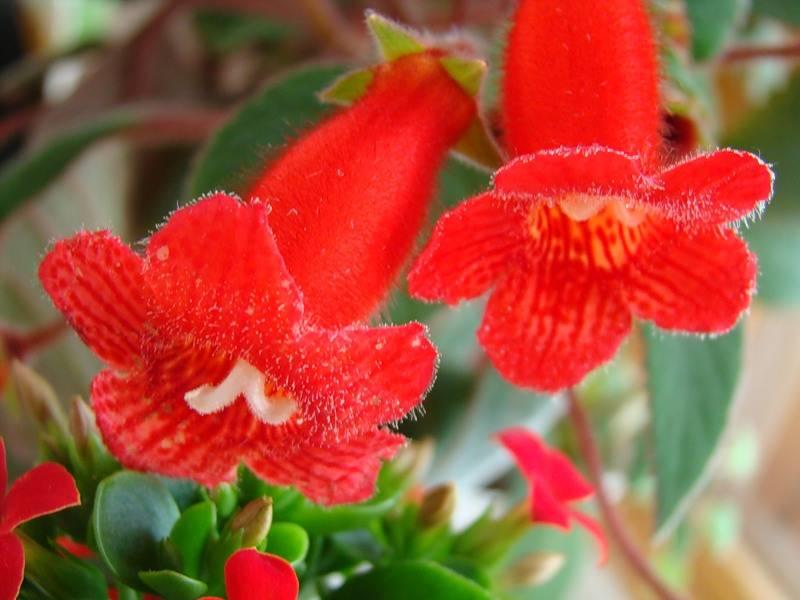 Комнатные цветы колокольчики