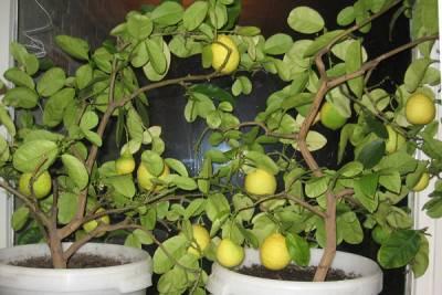 Земля для лимона в домашних условиях