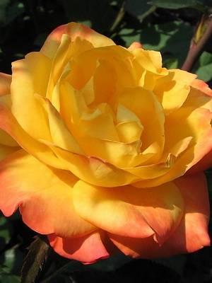 Роза чайно гибридная блю мун