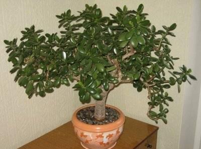 Почему денежное дерево плохо растет