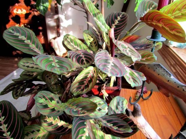 Комнатный цветок с пестрыми листьями