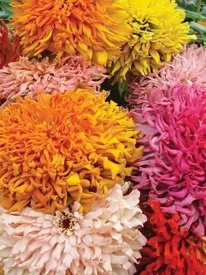 Цветы панычи