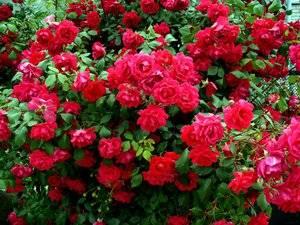 Как рассадить розу из куста