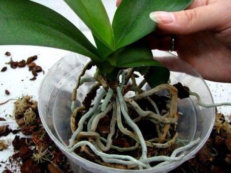 Воздушные корни у орхидеи нужно ли обрезать
