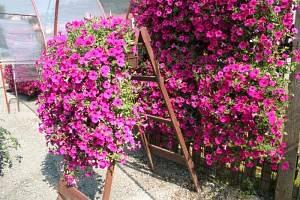 Сурфиния цветок
