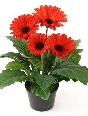 Значение цветка гербера