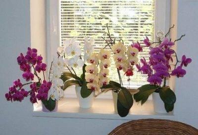 Как можно размножить орхидею в домашних условиях