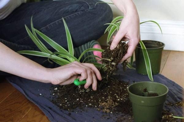 Размножение хлорофитума делением куста