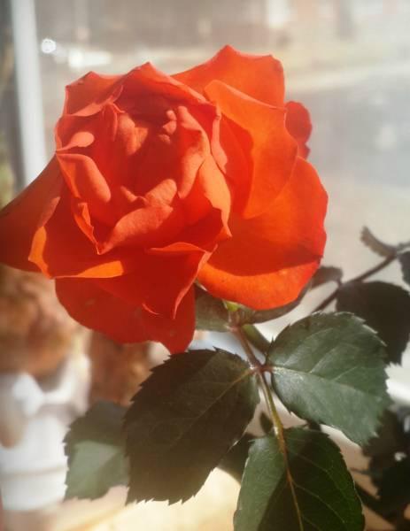 Как спасти розу
