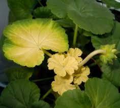 Почему желтеют листья у герани комнатной