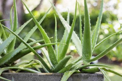 Как правильно посадить алоэ в горшок отростком