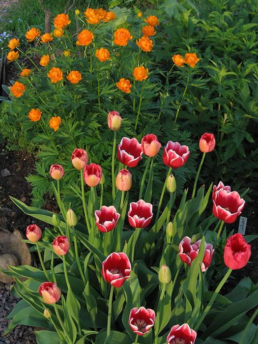 Обязательно ли выкапывать тюльпаны каждый год