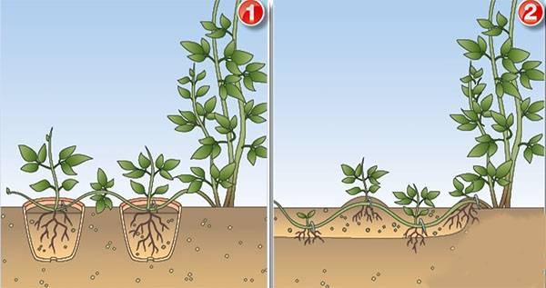 Как размножить клематисы черенками