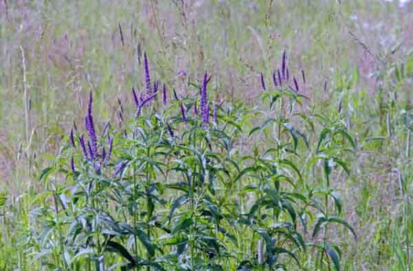 Вероника выращивание и уход