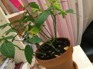 У комнатной розы желтеют и опадают листья