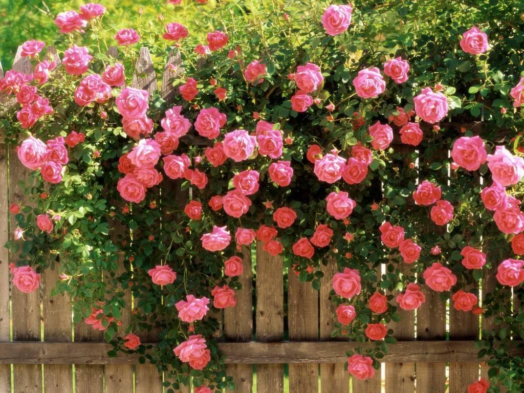 Розы почвопокровные посадка и уход