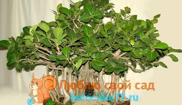 Фикус с бело зелеными листьями