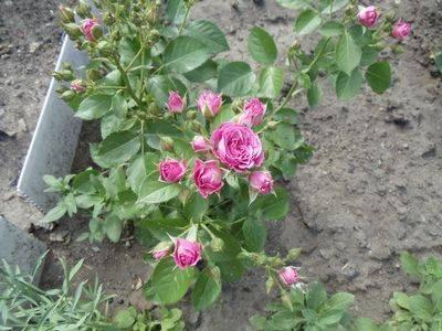 Роза таманго
