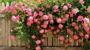 Мучнистая роса на розах меры борьбы