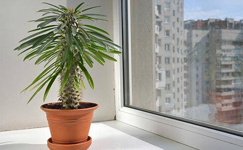 Кактус пальма