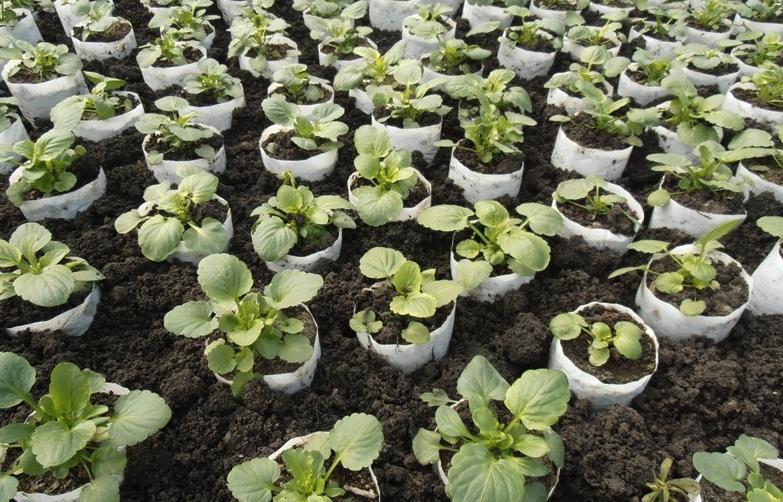 Фиалка рогатая многолетняя выращивание