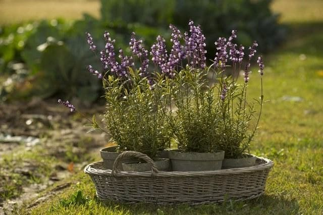 Лаванда выращивание в домашних условиях