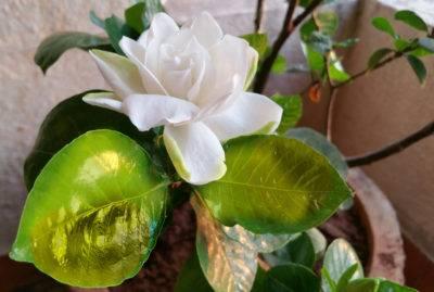 Цветок гардения уход в домашних условиях