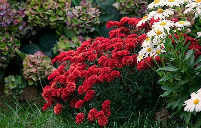 Хризантемы прекрасно смотрятся как самостоятельно на клумбах, так и в цветочных композициях