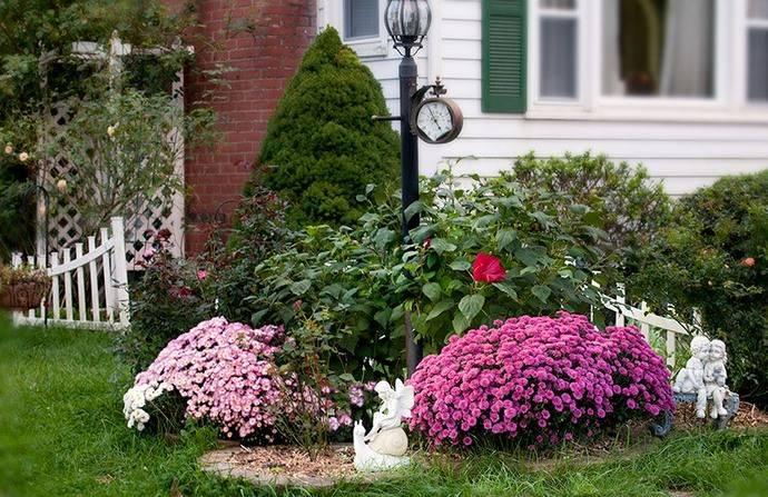 Хризантема кустовая широко используется в озеленительных работах и ландшафтном дизайне