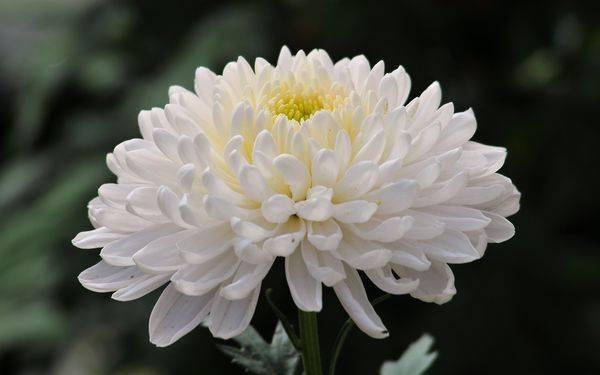 Хризантема имеет огромное разнообразие оттенков цветков