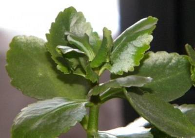 Почему сохнут листья у каланхоэ