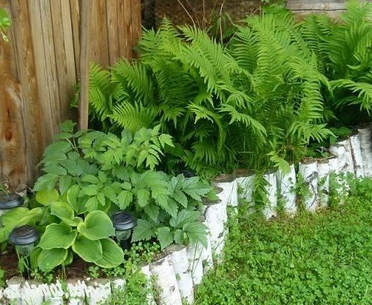Как посадить папоротник