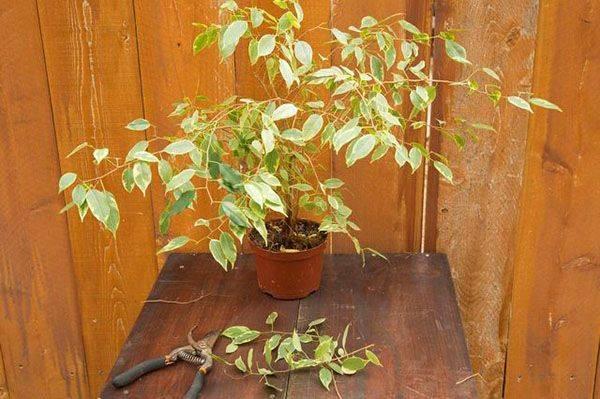Фикус сбросил листья