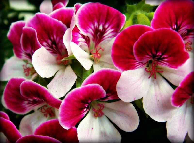 Герань садовая многолетняя сорта