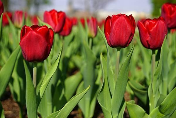 Тюльпаны дарвиновы гибриды сорта