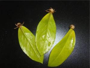 Замиокулькас желтеют листья причина