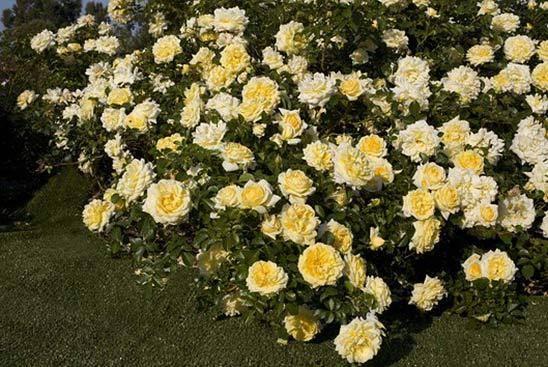 4 сезона роза