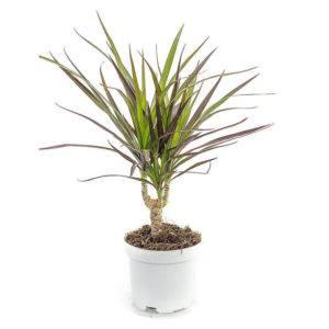 Как пересадить пальму драцену в домашних условиях