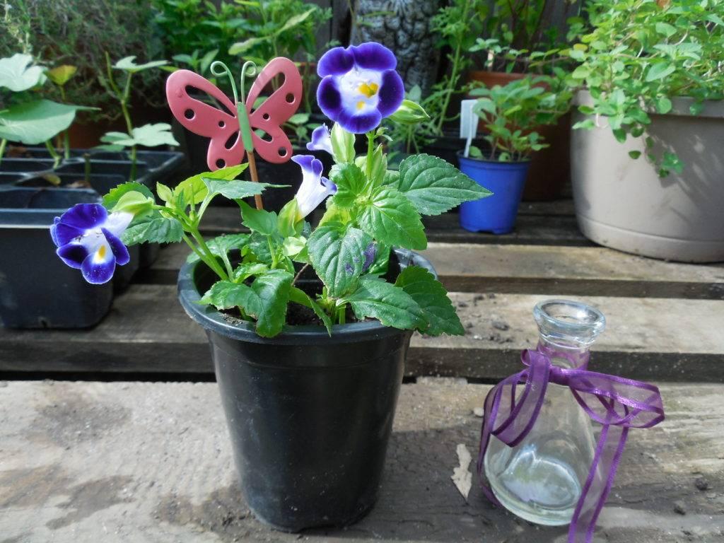 Торения выращивание