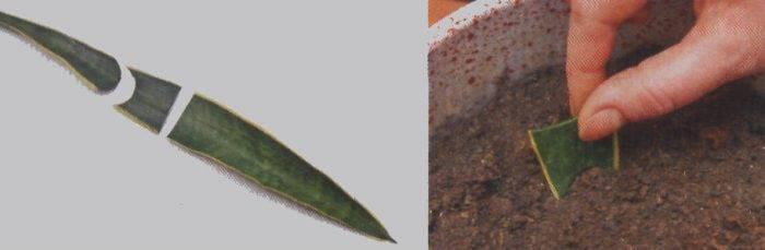 Как размножить щучий хвост