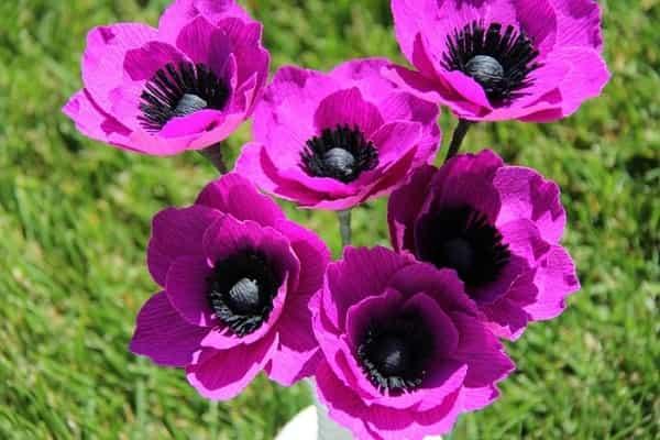 Ветреница цветок