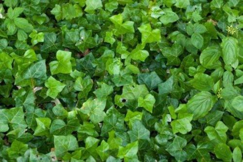 Плющ зеленый
